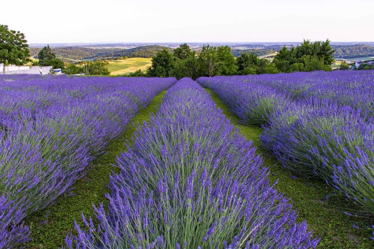 Lavendel bei Tag
